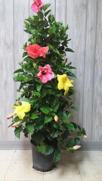 Hibiscus Hollywood Column Tricolor 10""