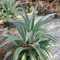 Agave Green 10
