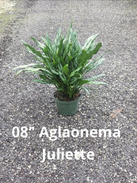 "Available in 8"" and 10"" pots, many varieties of Aglaonema available"