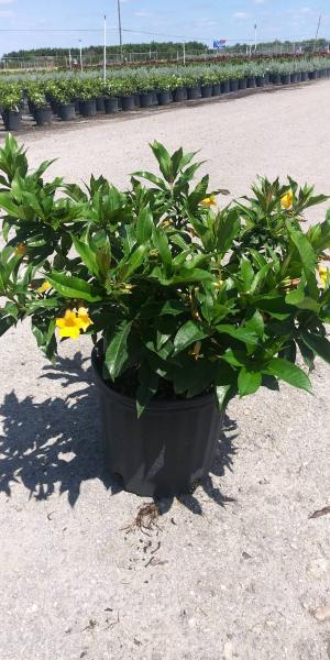 "Available in 6"", 10"" (shown) & 14"" pots"