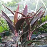 Cordyline Red Sister Gold Edge