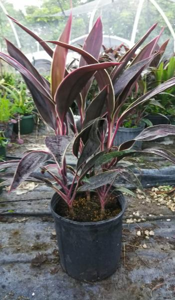 "This is a 10"" pot, thick leaves, rare variety"