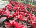 Cordyline Ruby Red