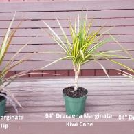 "These plants are available from 4"" to 14"" pots in many different forms; tips, cane, cutback cane, braided trunks, zulu trunks, weaved trunks"