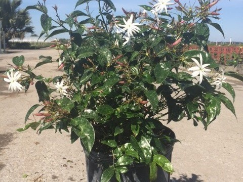 A beautiful blooming plant with white blossoms.