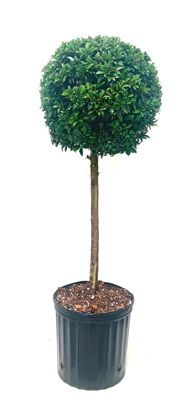 Eugenia Topiary 1 Ball Blooming Plants