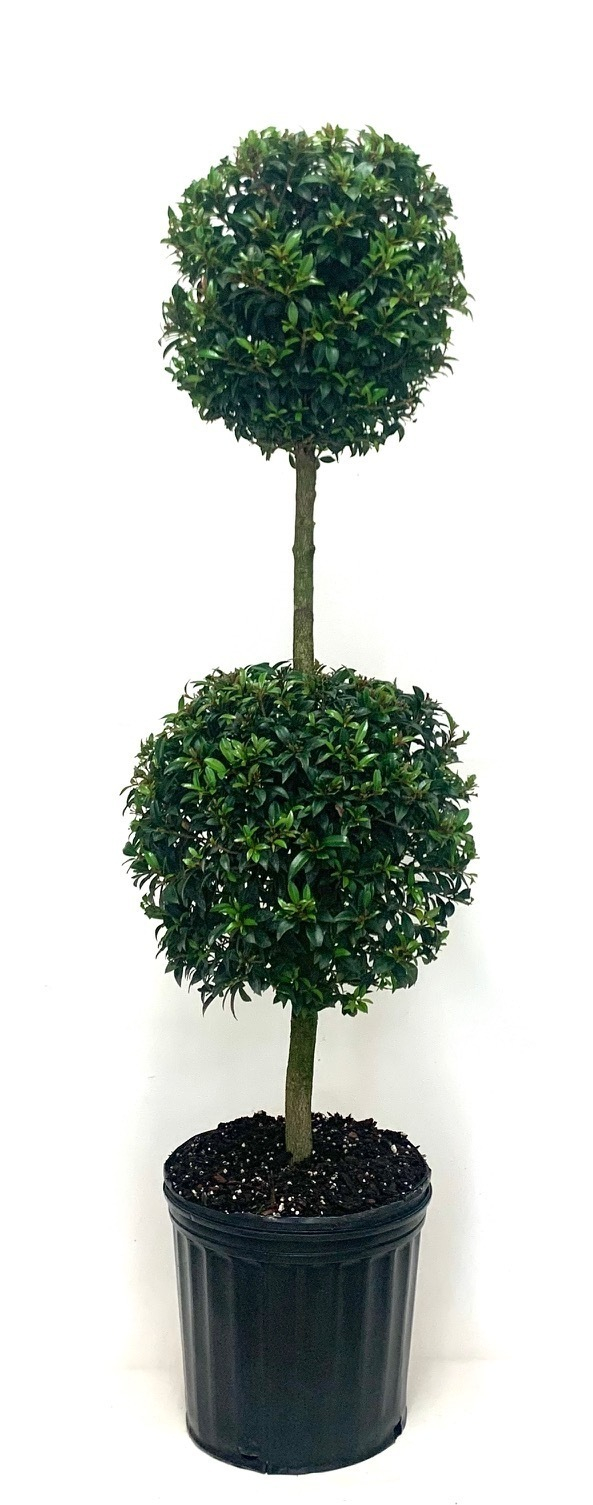 Eugenia Topiary 2 Ball Blooming Plants