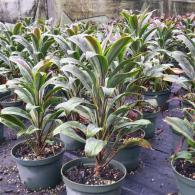 Cordyline Cameroon/Chocolate