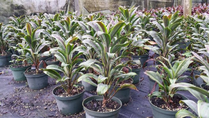 "[Image: We have over 45 varieties of Cordyline to choose from in 3"" to 14"" pots]"