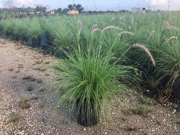 Fountain Grass White 10""