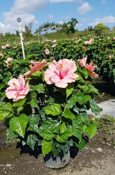 Hibiscus Bush Double Pink 10""