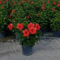 Hibiscus Bush President Red