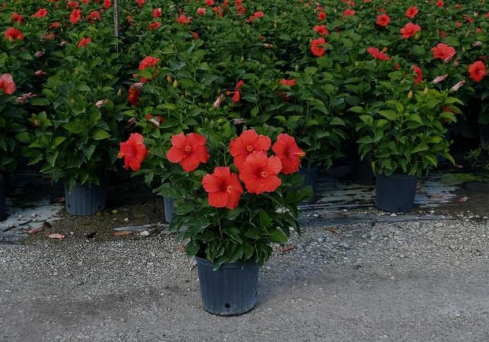 "Available in 6"", 10"" (shown), 12"", 14"" bush & also in tree from 10"", 12"", 14"" & 17"" pots"