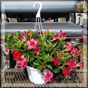 Mandevilla Original Crimson Red Hanging Basket 10""