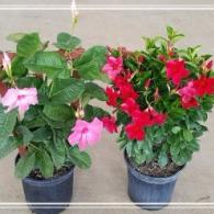 "Available in 6"", 8"" (shown), 10"", 12"" and 14"" pots"