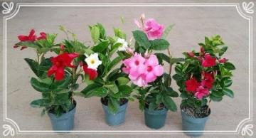 "Mandevilla Trellis come in 6"", 8"", 10"" & 12"" pots in many different colors and varieties"