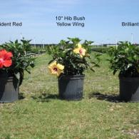 "Available in Bush, Standard, Braided, Topiary, Multi Stem starting in 6"", 8"" 10"", 12"", 14"", 17"" & 21"" pots"