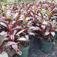 Cordyline Red Sister