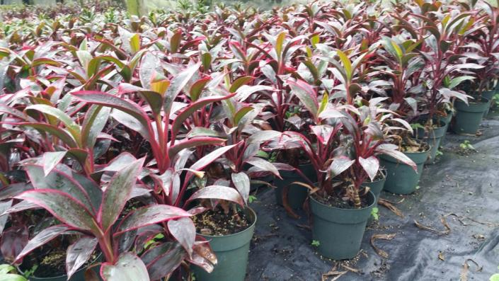 "[Image: We offer 45 varieties of colorful Cordyline in sizes from 3"" to 14"" pots]"