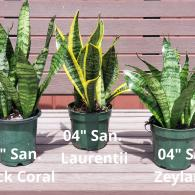 "We have the largest selection of Sansevieria from 4"" to 17"" pots"