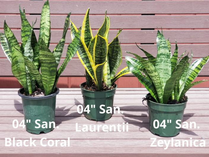 "[Image: We have the largest selection of Sansevieria from 4"" to 17"" pots]"