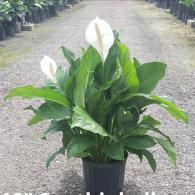 Many varieties of Peace lily's available