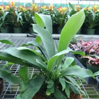 Staghorn Fern in Coconut Shell